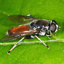 Unknown Fly - Xylota flavitibia - male
