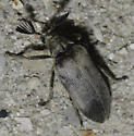 Beetle with antlers - Sandalus - male