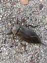 Strange Insect - Lethocerus uhleri
