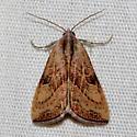 Wedgling Moth - Galgula partita