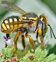 Bee (Anthidium sp.?) - Anthidium manicatum