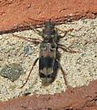 Xylotrechus colonus
