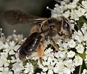 Bee IMG_1331 - Andrena crataegi
