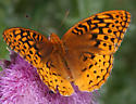 One of those Greater Fritillaries I think - Speyeria cybele - male