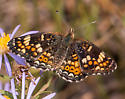 Likely Field Crescent but could also be a Gorgone Checkerspot - Phyciodes pulchella