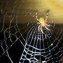 Scary spider - Araneus marmoreus