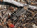 grasshopper - Trimerotropis - female
