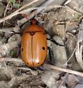 Beautiful grage  beetle - Pelidnota punctata