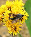 Fireweed Clearwing Moth - Albuna pyramidalis - male