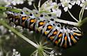 presumptive black swallowtail - Papilio polyxenes