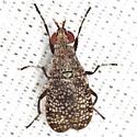 Marsh Fly - Euthycera arcuata