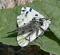 Becker's White - Pontia beckerii