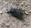 Huge Black Fly - Tabanus atratus - male