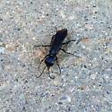 Steel-Blue Cricket Hunter - Chlorion aerarium - female