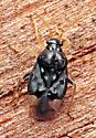 Bug - Pycnoderes