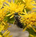 eight-spotted miner bee  - Perdita octomaculata