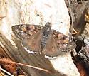 Erynnis pacuvius - female