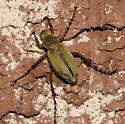 Rose Chafer - Macrodactylus angustatus