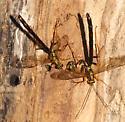 Giant Ichneumon - Megarhyssa atrata - male - female