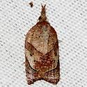 Omnivorous Platynota Moth - Platynota rostrana