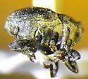 Weevil 3 - Glocianus punctiger