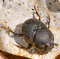 scarab dung beetle - Onthophagus hecate