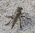 robber fly - Promachus ? - female