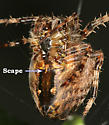Cross Orbweaver - Araneus diadematus - female