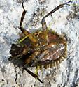 Giant Water Bug - Abedus herberti - male