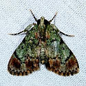 Dimorphic Macalla - Epipaschia superatalis