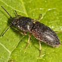 Click Beetle?? - Hypnoidus