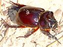 Ox Beetle - Strategus antaeus - male