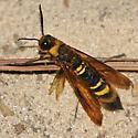 Wasp - Eriotremex formosanus
