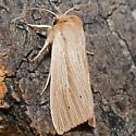Unknown Moth - Mythimna oxygala
