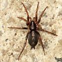 Eastern Parson Spider - Dorsal - Herpyllus ecclesiasticus