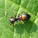 Which ant-mimic spider, please? - Peckhamia