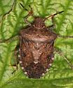 Pentatomomorpha - Euschistus