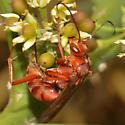Red Wasp - Tachypompilus unicolor
