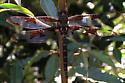 dragonfly - Epitheca princeps