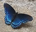Red-spotted purple admiral - Limenitis arthemis