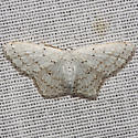 Dot-lined Wave Moth - Hodges #7122 - Idaea tacturata