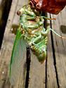 Northern Dusk Singing Cicada (Emerging) - Megatibicen auletes - female