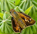 Sachem - Atalopedes campestris - female