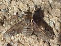 (red)brown & gray bee fly with subtle-patterned smokey wings on sand in sage-scrub habitat