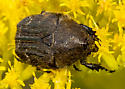 Hairy beetle on goldenrod - Euphoria sepulcralis