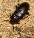 Under bark beetle - Neatus tenebrioides