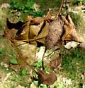 Erebidae, cocoon - Dasychira vagans