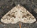 Variable Girdle Moth - Enypia venata