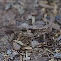 Camo Grasshopper - Conozoa sulcifrons - female
