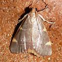 Moth 4 - Hypsopygia olinalis